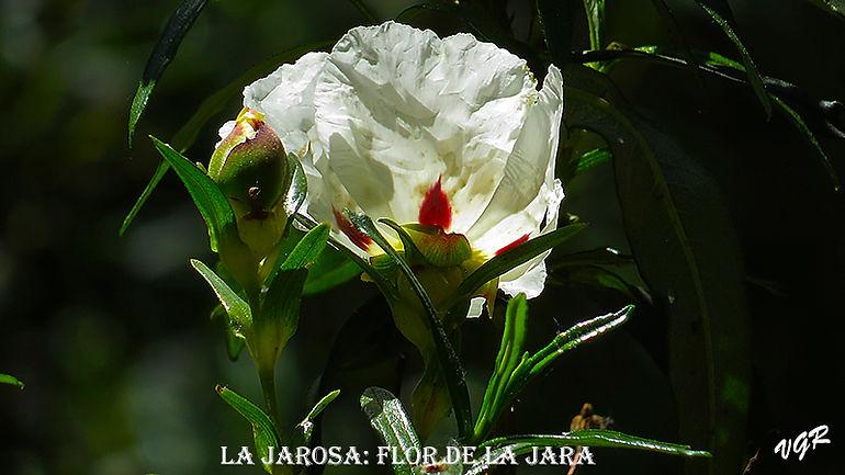 Flor de jara-1-WEB.jpg