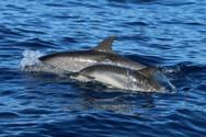 Fleckendelfine