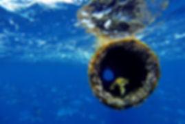 Goldmakrelen vor Teneriffas Küsten