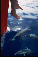 delfine kanaren (Teneriffa)