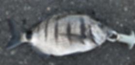 Zahnbrasse auf La Gomera gefangen