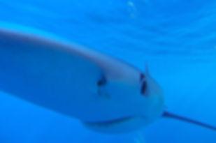 Ein Hai unter Wasser, Teneriffa