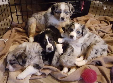 puppies at 6 weeks.jpg