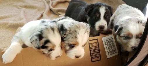 2019 puppies at 3.5 weeks - Copy.jpg