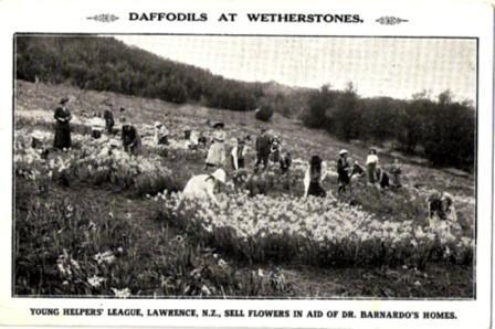 Daffodil Postcard w