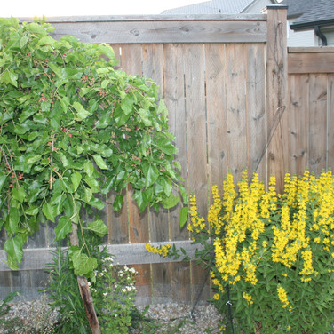 Mullberry And Lisimachia