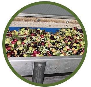 olive-sorting-bin.jpg
