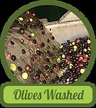 olives-washed.png