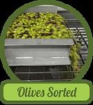 olives-sorted.png