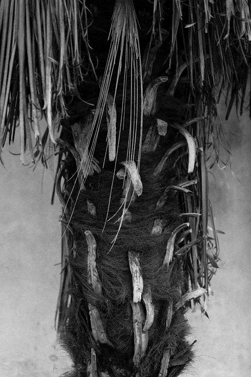 Palma monocromatica