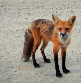 Magnifique renard roux