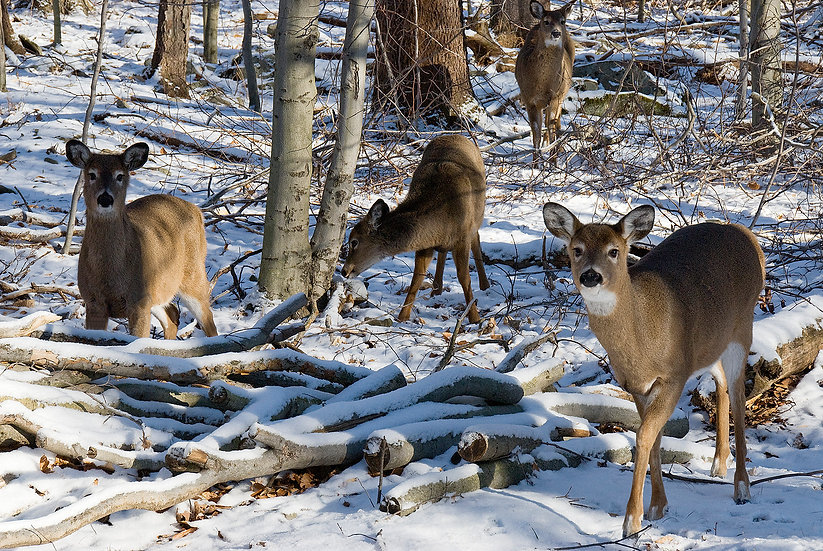 FOUR DEER IN THE FOREST img#100695