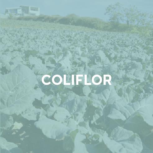 coliflor.png