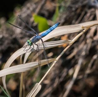 Dragonfly Blue.jpg