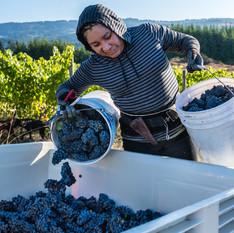 Picking Grapes Thirteen .jpg