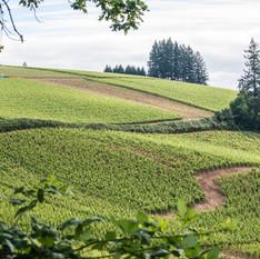 Pinot Noir Vineyard, Dundee Hills, Oregon
