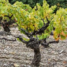 Old Vine, Vacqueyras, France