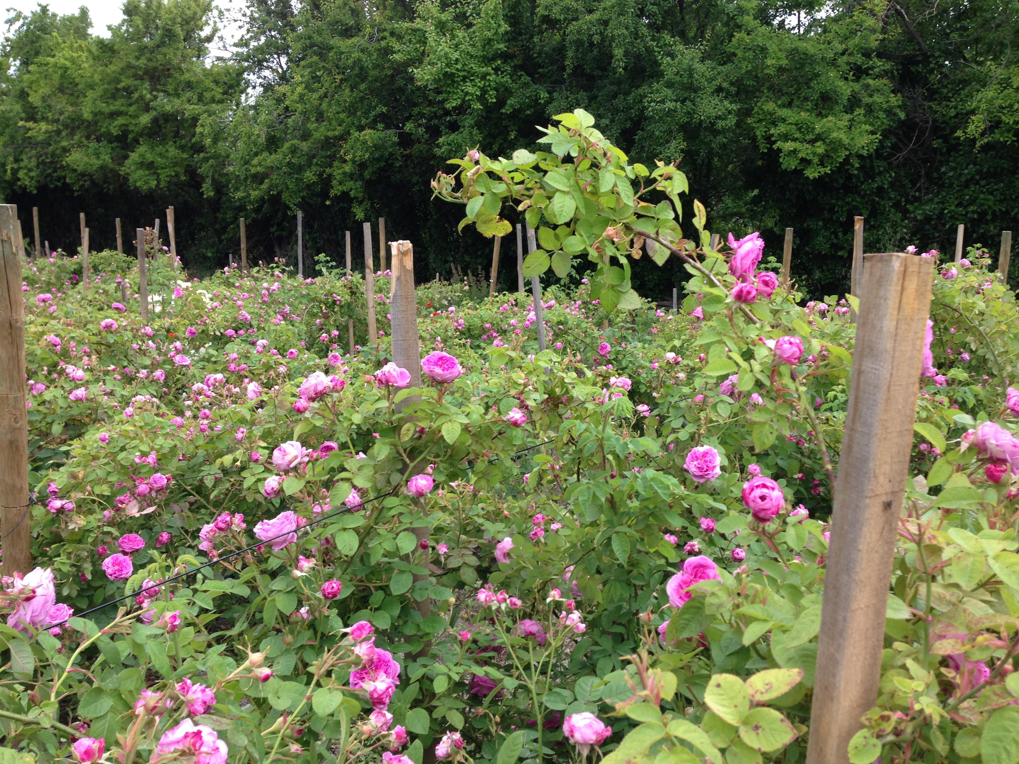 Baptistine-fleur-a-parfum.JPG