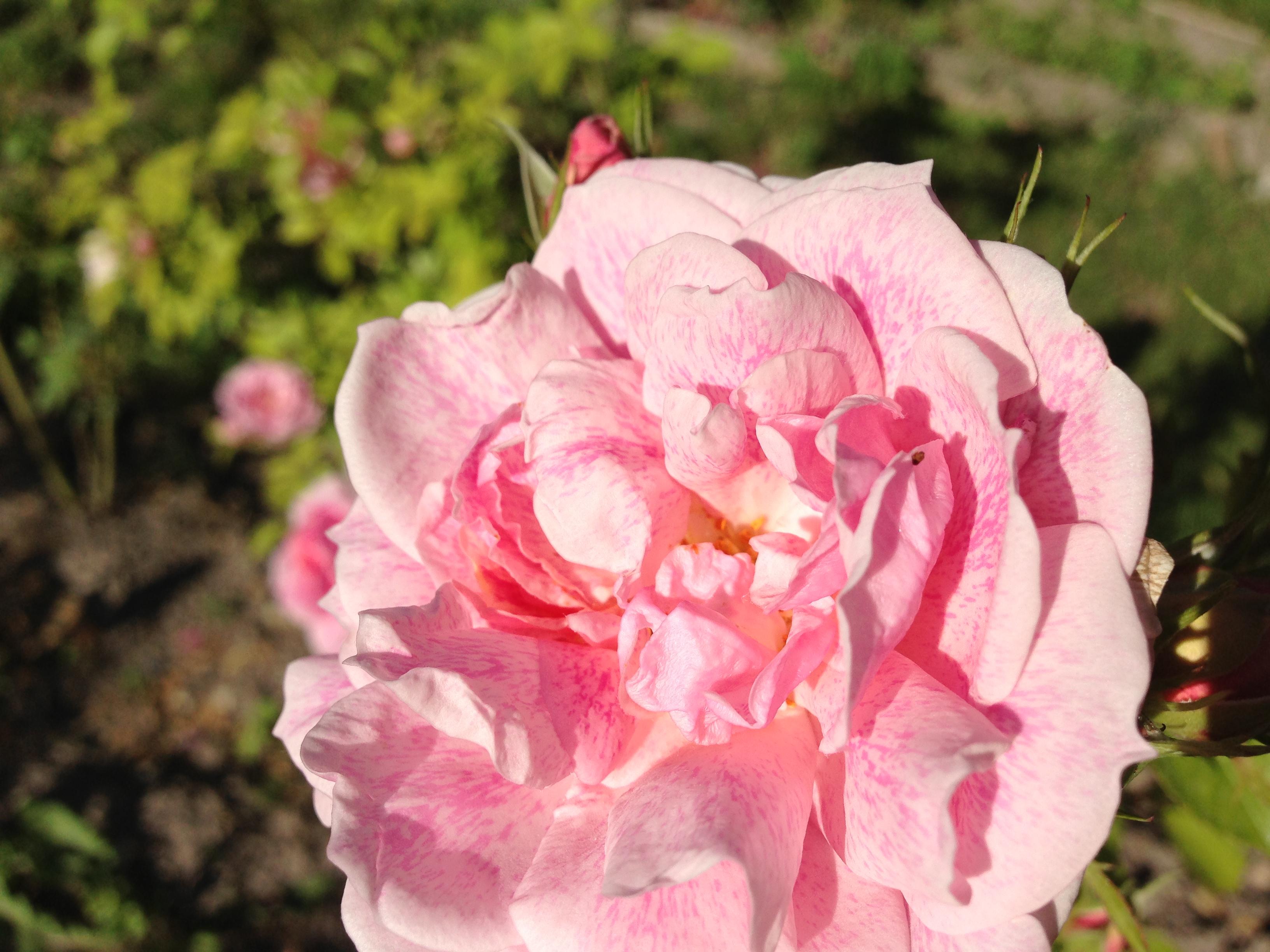 Rose-isle.JPG