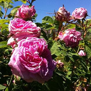 La rose de Damas F_RD