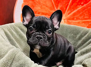 French Bulldog puupy for sale at the top dog store calgary