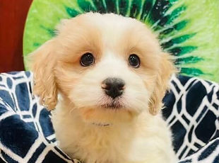 Cavalier x Bichon mix puppy for sale at the top dog store in Calgary