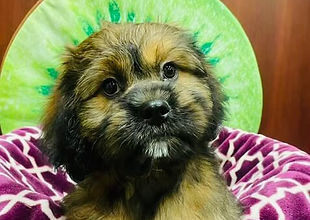 ShihTzu x Cavalier mixed puppy for sale at the top dog store