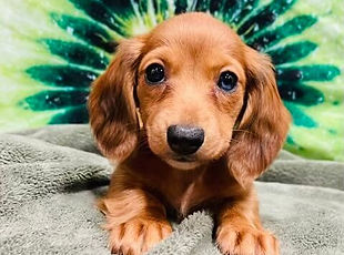 Mini Dachshund puppy for sale at the top dog store in calgary