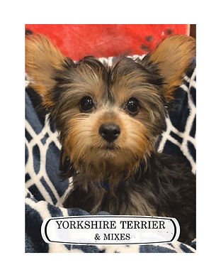 Yorkie badge.jpg