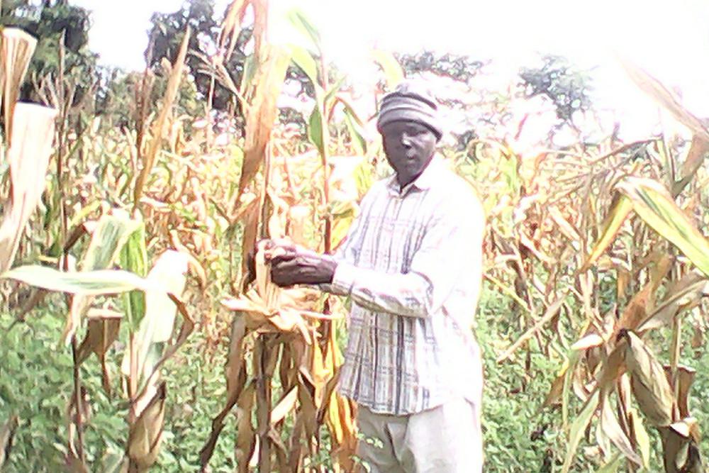 Maize Harvest - Pastor Dan