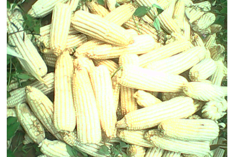Maize Harvest - August_edited
