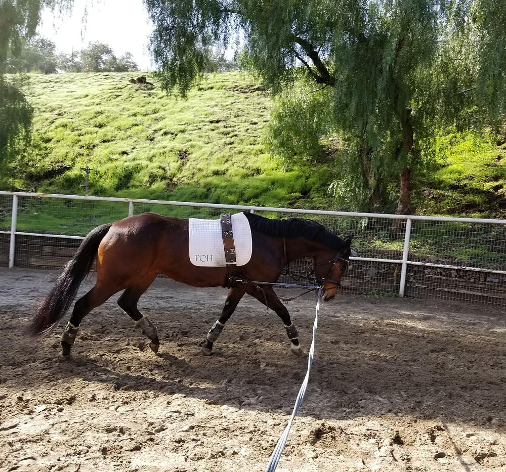 Dressage horse working on the longe line.