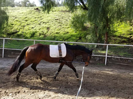 Longeing the Dressage Horse--Part One