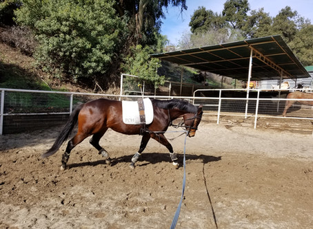 Longeing the Dressage Horse--Part Two
