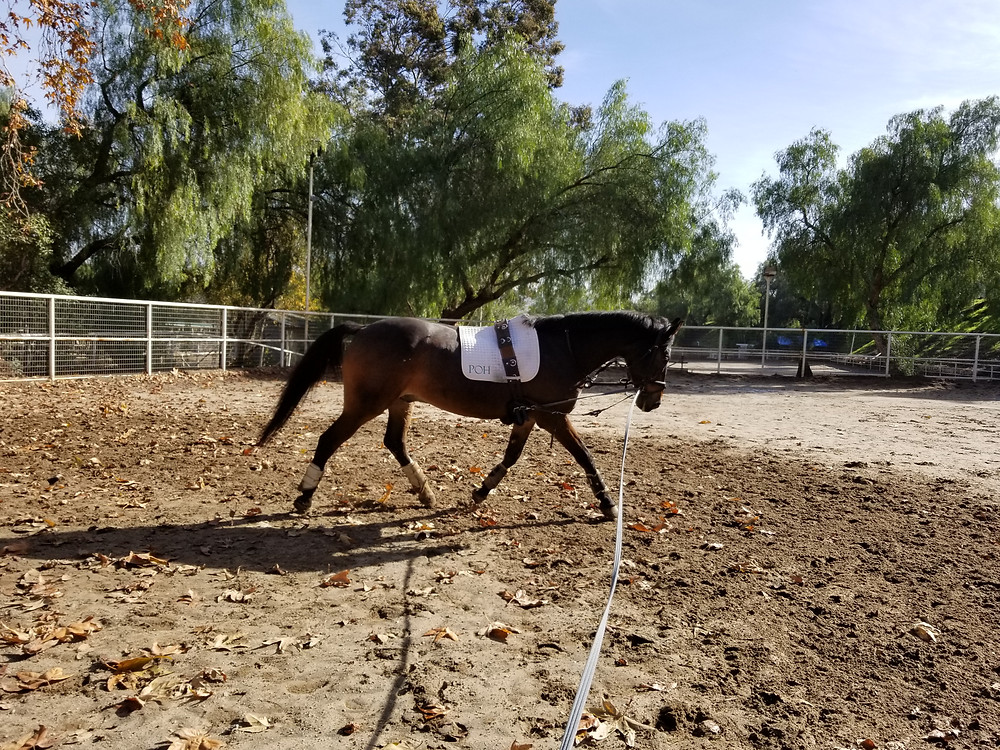 Dressage horse working on the lunge line.