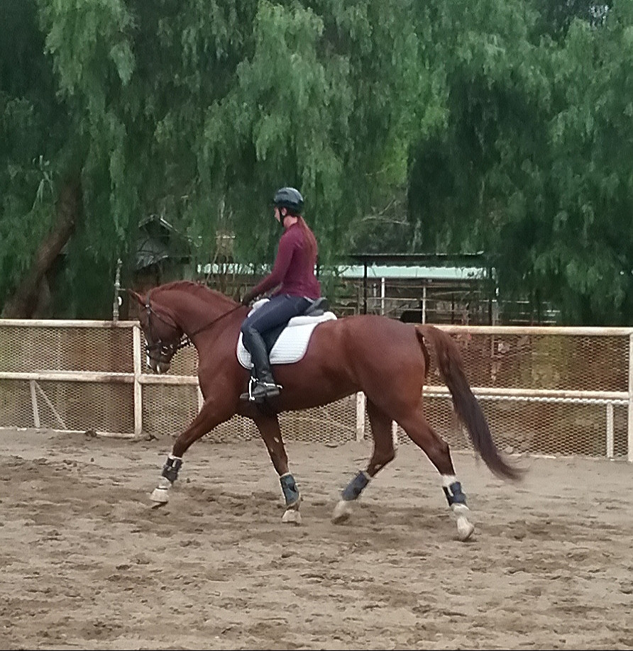 Warmblood Dressage Horse and FEI Trainer in Los Angeles California