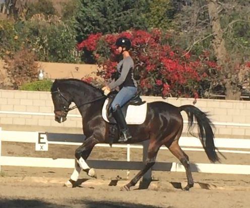 Arabian Dressage horse
