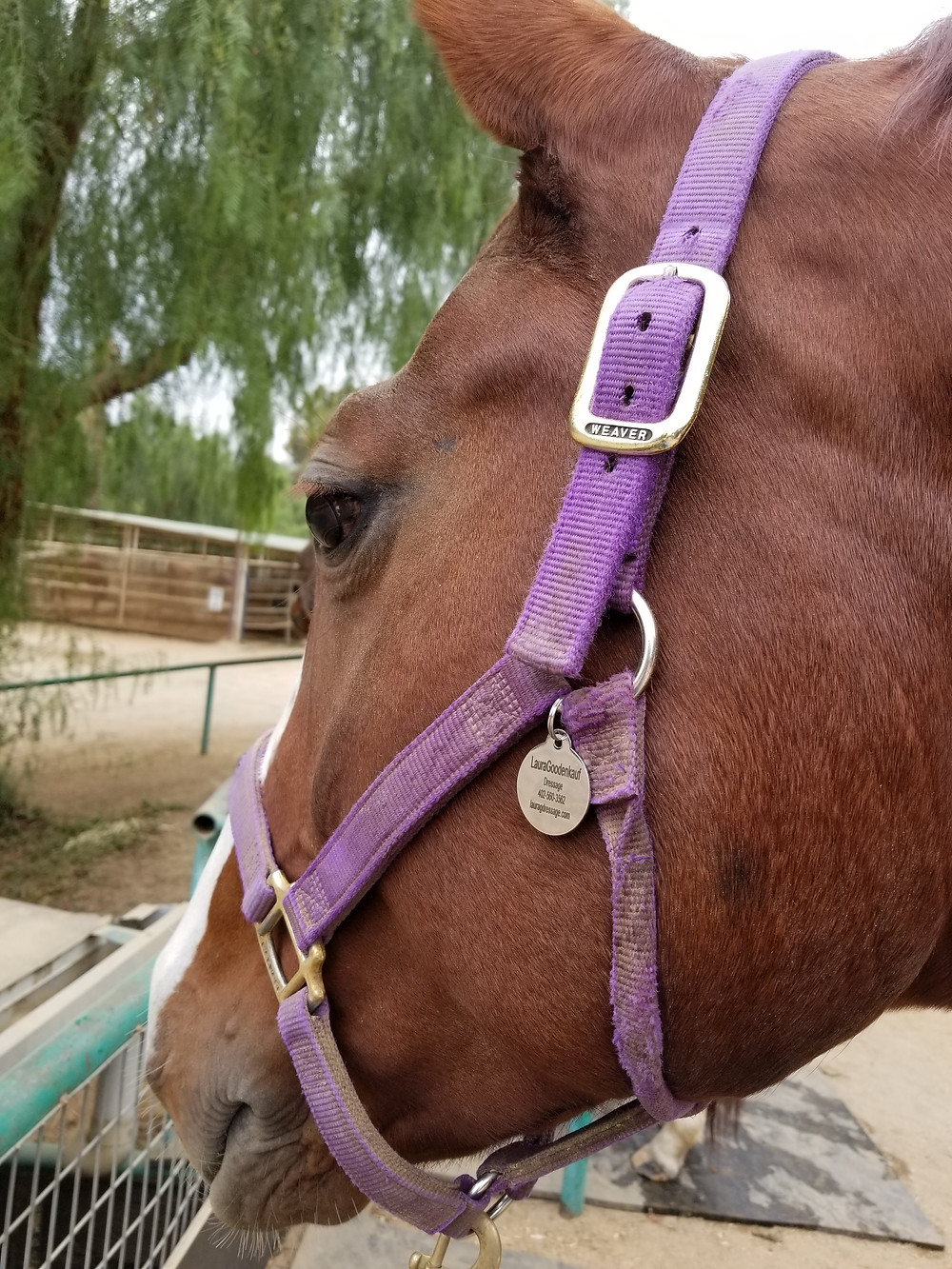 A horse wearing an ID Tag for wild fire evacuation in Los Angeles.