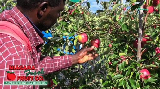 Apple picking in orchard x2 logo.jpg