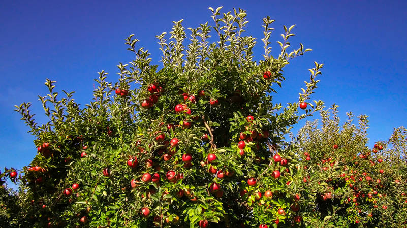 Apple tree in orchard no logo.jpg