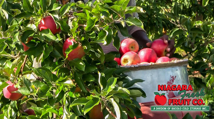 Apples in orchard picking (1 of 1).jpg