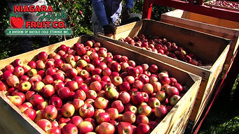 Apples cIn bins in orchard with logo.jpg