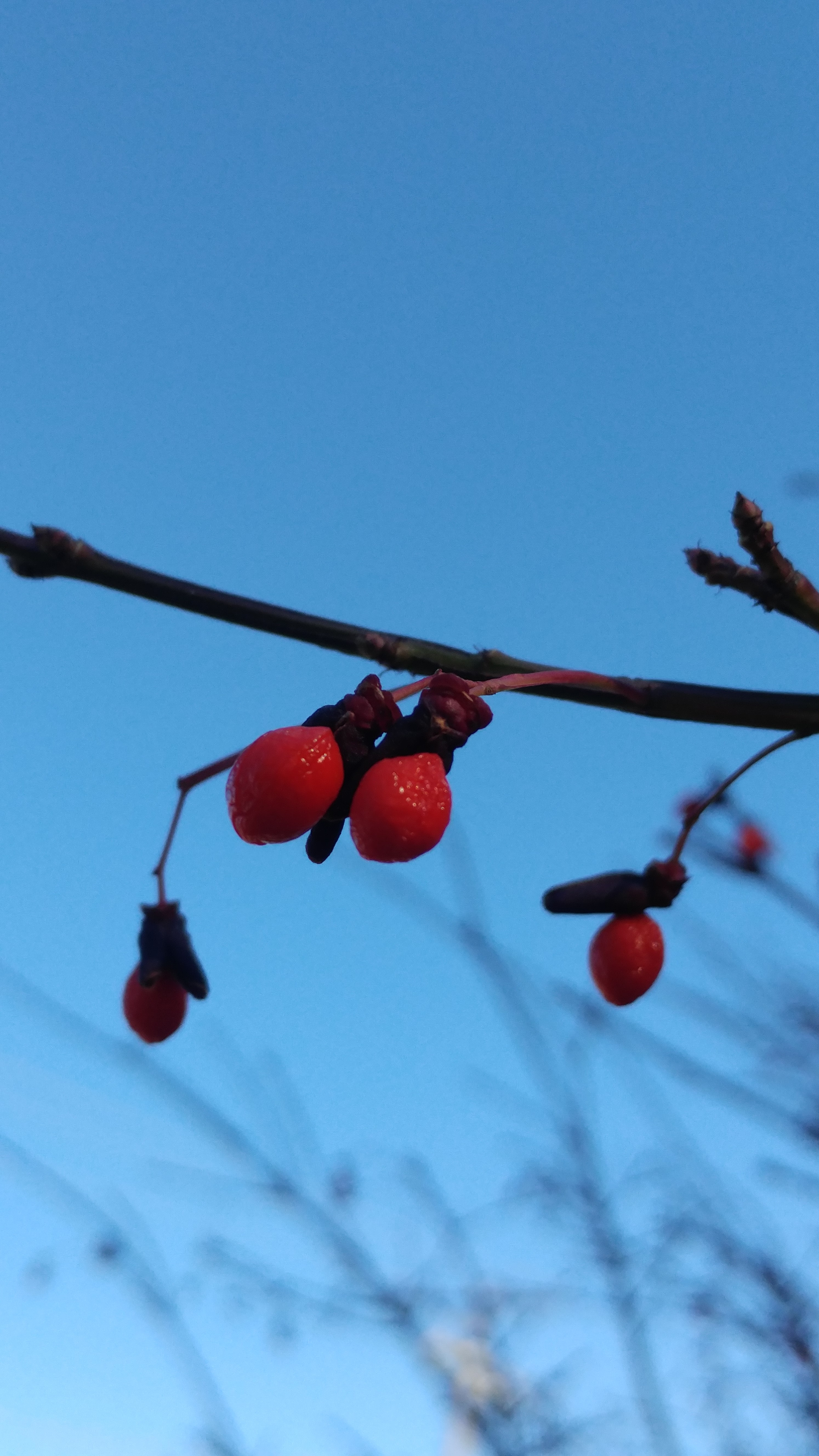 "Photograph - ""Winter Berries"""