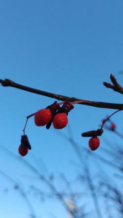 "Photograph - ""Winter Berries"""