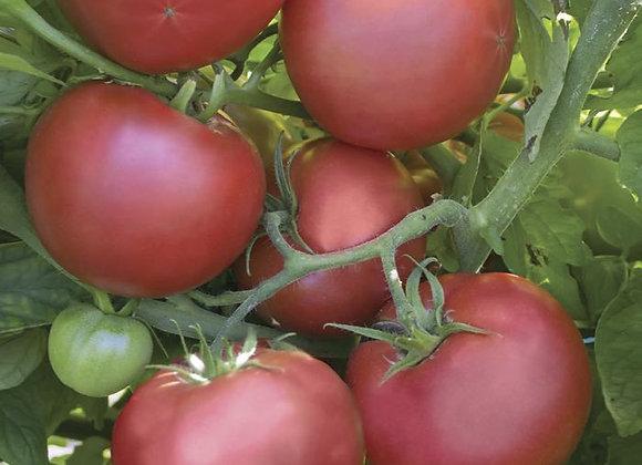 Tomato - Pink Damsel