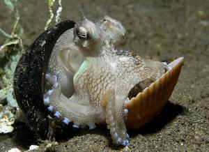 Imagem mostra um polvo com coloração bege e marrom, e em seus tentáculos certa coloração azul. Este polvo está dentro de uma concha e ambos estão no substrato.