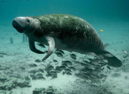 Foto de um peixe-boi de lado, submerso, mostrando várias algas na parte superior do seu corpo. Embaixo há vários peixes nadando.