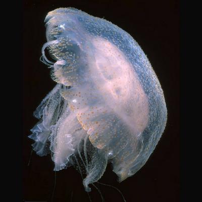 Foto de uma água viva de coloração transparente com umas bolinhas alaranjadas.