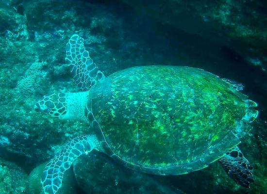 Foto vista de cima de uma tartaruga de pente submersa nadando. Ao fundo da imagem podemos ver alguns recifes de coral.