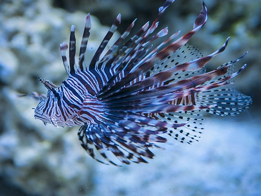 Peixe-leão: belo e perigoso!